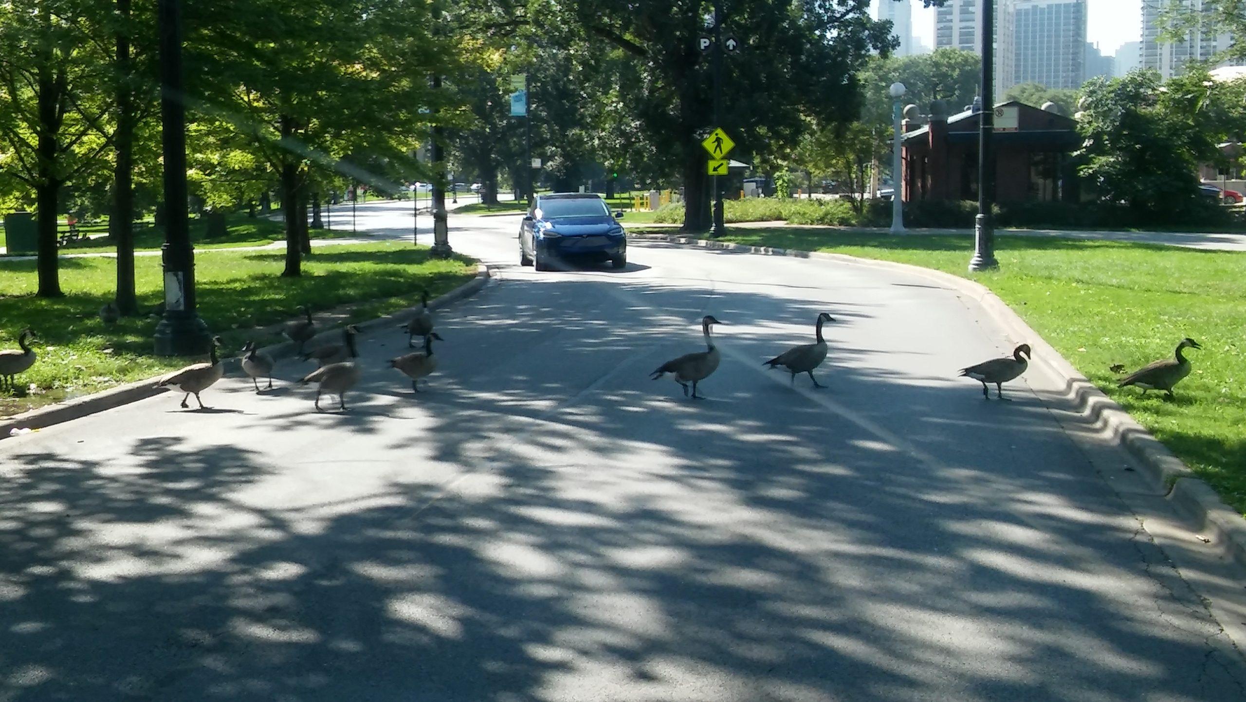 Determination - Ducks Crossing Canon Drive
